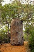 stock photo of baobab  - A shot of baobab on a cloudy day Madagascar - JPG