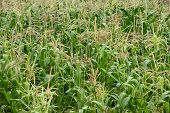 stock photo of maize  - Cornfield maize bloom summer - JPG