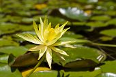 Yellow Water Lily In The Botanical Garden