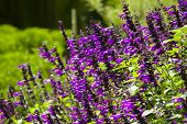 Violet Flower In Sunshine Day