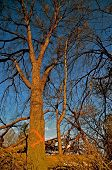 stock photo of elm  - Elm tree marked for removal due to disease - JPG