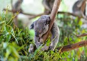 stock photo of eucalyptus trees  - A koala sleeps on a branch of a eucalyptus tree - JPG