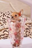 Little chihuahua in a flower vase