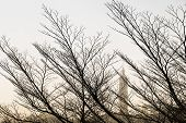 foto of windswept  - Windswept twigs and trees without leaves as winter season in Taipei - JPG