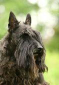 pic of scottie dog  - The Scottish Terrier  - JPG