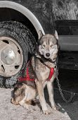 Sled Dog Sits By Truck