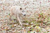 Blonde Wolf (Canis lupus) Runs Forward Eagerly