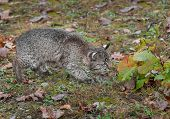Bobcat Kitten (Lynx rufus) Cautiously Checks Leaves