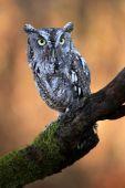 mürrisch owl