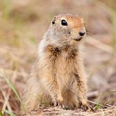 Cute Arctic Ground Squirrel Urocitellus Parryii
