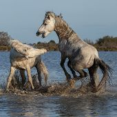 fighting stallions