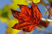 Liriodendron Leaf In Autumn
