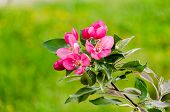 Постер, плакат: Flowering Crabapple Blooms