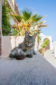 Cat relaxing in Thira Santorini