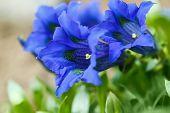stock photo of trumpet flower  - Trumpet gentiana blue spring flower in garden for background - JPG