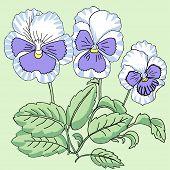 Blue white Pansy