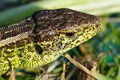 Small Lizard Lacerta Agilis