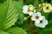 Woodland Strawberry Flowering