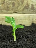 Pea growing plant