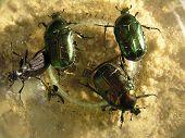 stock photo of lightning bugs  - beetles*** Note: Slight blurriness, best at smaller sizes.  - JPG