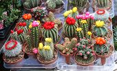stock photo of spiky plants  - A Collection of Colourful Cactus Plants for Sale - JPG