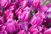 purple tulips with water drops