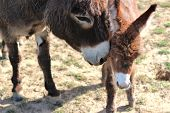 Donkey mother nuzzling newborn foal