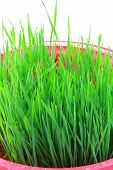 Closeup of Wheatgrass sprouts isolated on white background