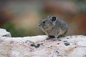 American Pika Sitting On A Granite Rock