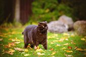 image of portrait british shorthair cat  - chocolate british shorthair cat walking outdoors in autumn  - JPG