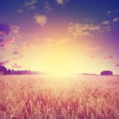 Wheat field at sunset in vintage style.