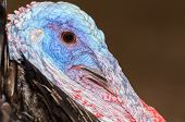 Closeup Head Of Male Wild Turkey