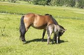 stock photo of mare foal  - Foal with a mare on a summer pasture - JPG
