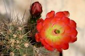 Echinocereus Plant And Flower