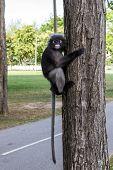 Dusky Leaf Monkey, Dusky langur, Spectacled langur