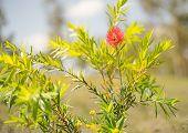First Spring Flower Of Australian Callistemon