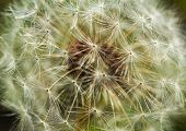Fluffy White Dandelion