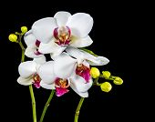 Beautiful Branches White And Red Orchid Flower (phalaenopsis) With Bud Is  Isolated On Black Backgro