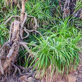 Tree  Pandanus In The Natural Environment, India, Closeup
