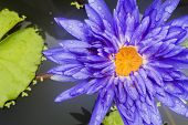 A Closeup Shot Of A Beautiful Lotus Flower Or Waterlily With Lush Green Leaves In A Pond