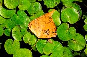 Autumn leaf on lake water lily leafage