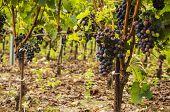 Black grapes.