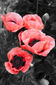 pink poppy on black and white background