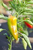 Growing process of paprika.
