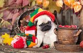pug puppy in gnome hat