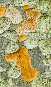 Zelkova Tree Bark Detail