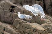 Graceful seagull going to land on the rocky shore