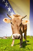 Cow With Flag On Background Series - Bosnia And Herzegovina