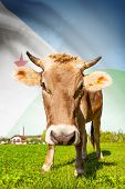 Cow With Flag On Background Series - Djibouti
