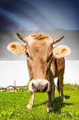 Cow With Flag On Background Series - Estonia